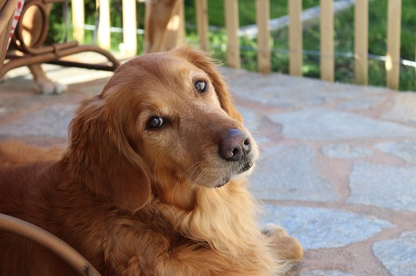 golden-retriever calm loyal dog breeds