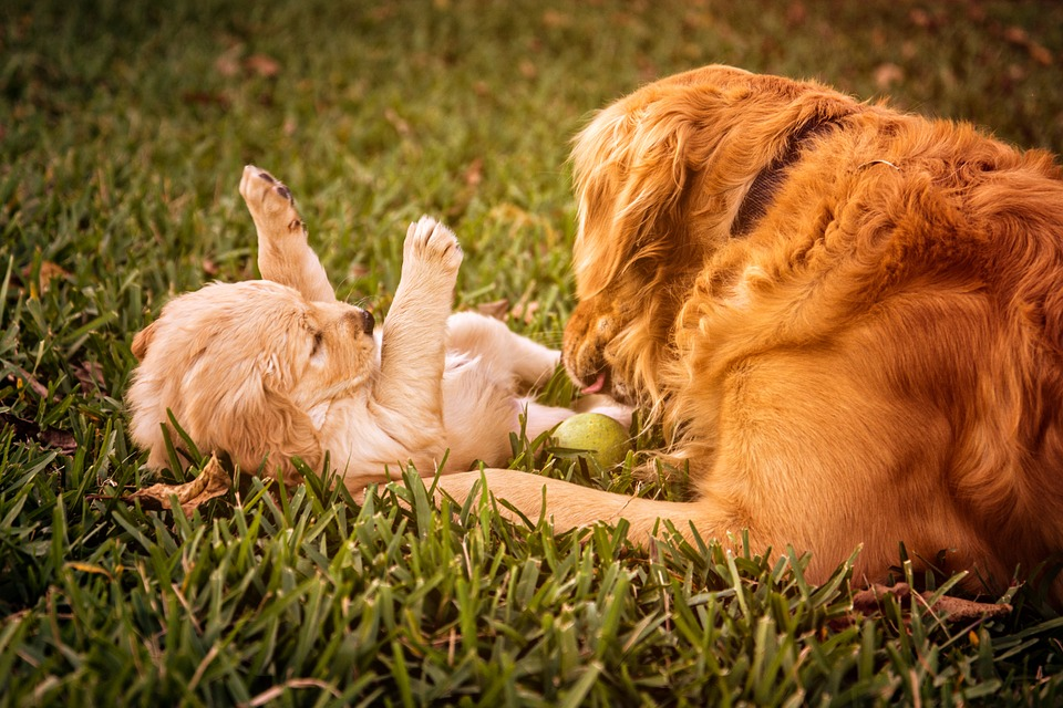 golden retriever one of the most affectionate large dog breeds in the world