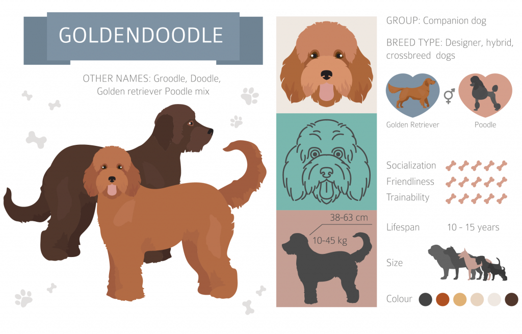 Goldendoodle infographic