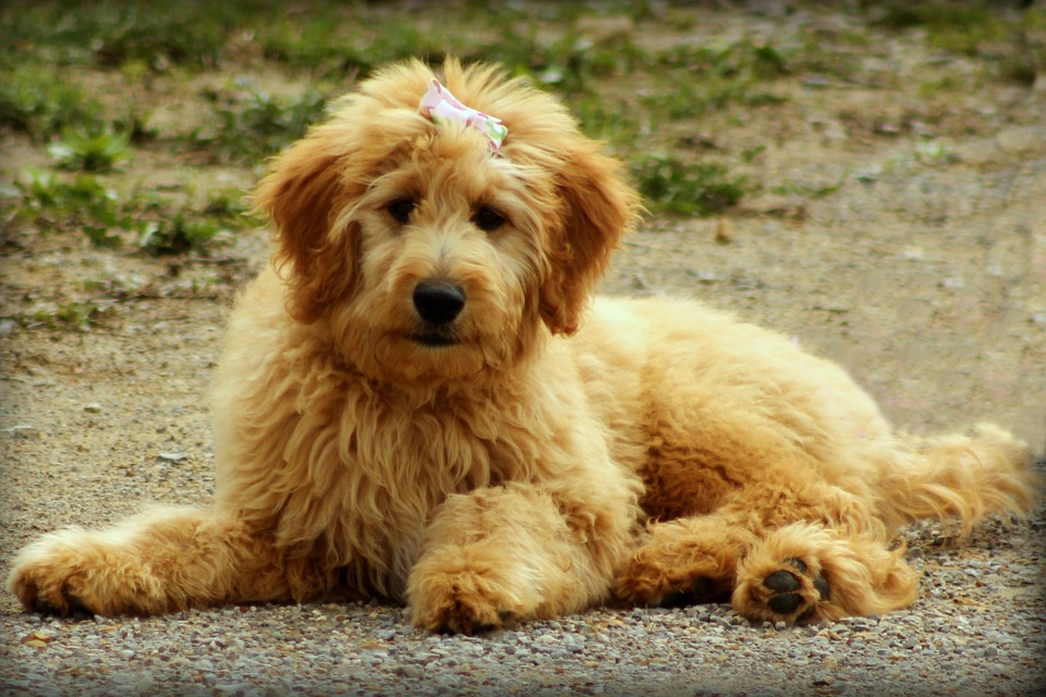goldendoodles make great therapy dogs for PTSD patients