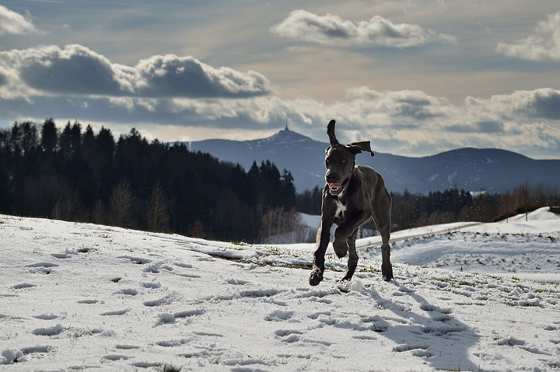 Great Dane running in snow with mountains in the background