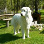 great pyrenees shedding and other information