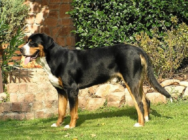 greater swiss mountain dog is a rare dog breed