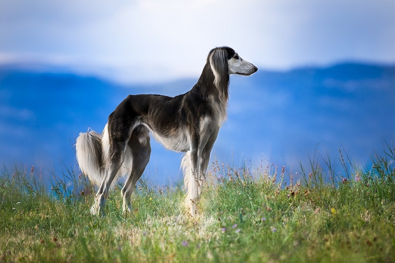 grey saluki with beautiful tail
