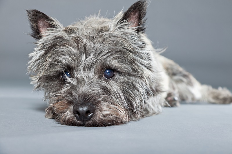 Grey Cairn Terrier on grey background