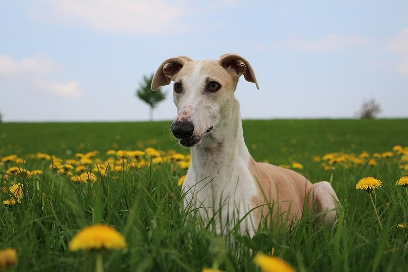 greyhound in the meadow