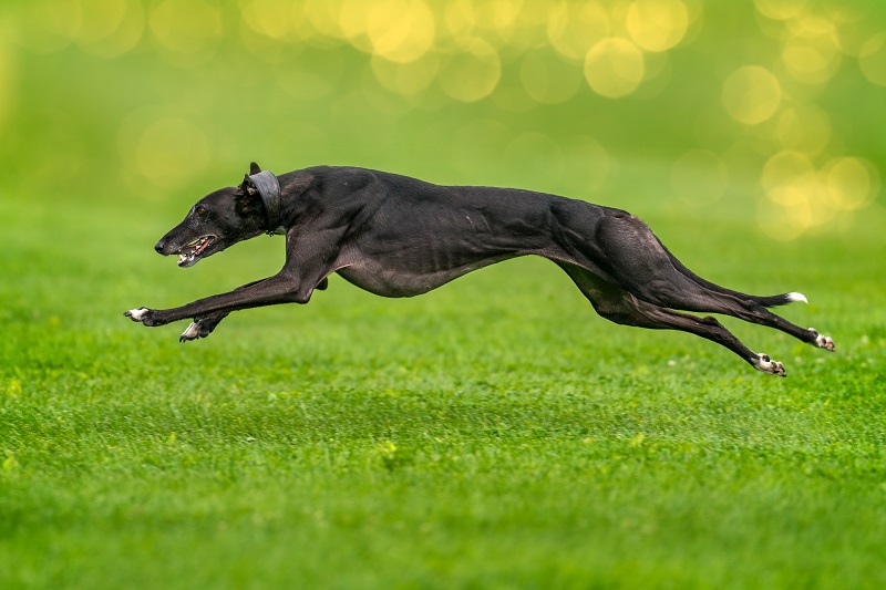 greyhound in action
