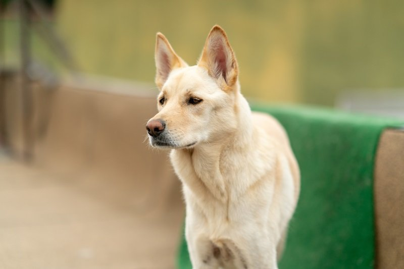 Close up of Jindo dog