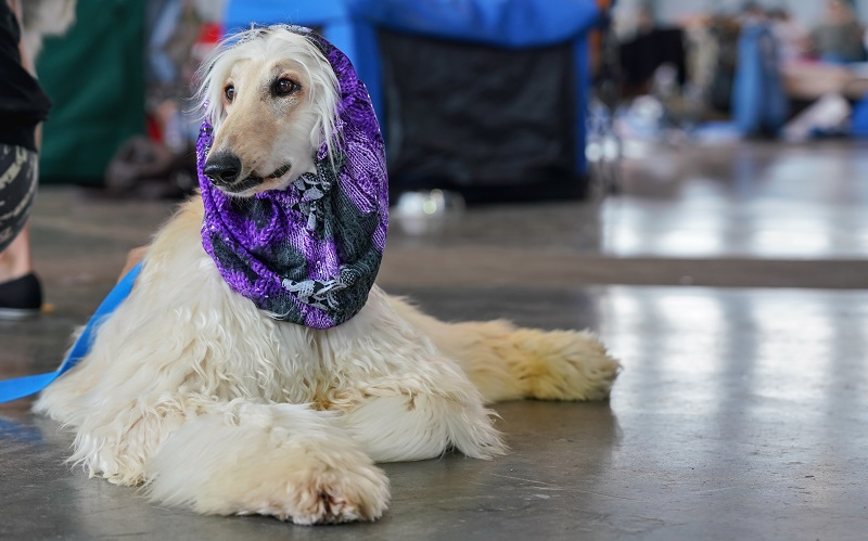 Russian borzoi dog sitting on the floor, purple scarf on head - ready and groomed at dog show contest.