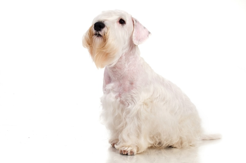 Sealyham Terrier isolated on white