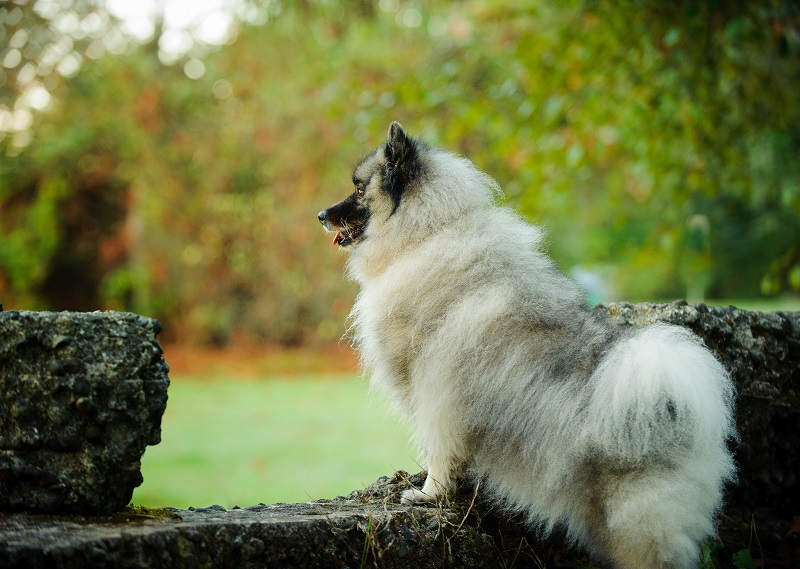 Keeshond dog standing up on cement wall