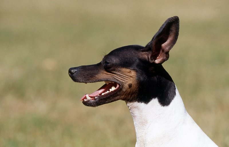 head shot of an american toy fox terrier