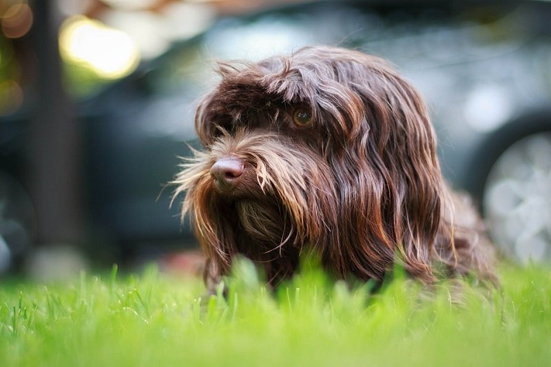 Havanese dogs are easy to train and housebreak