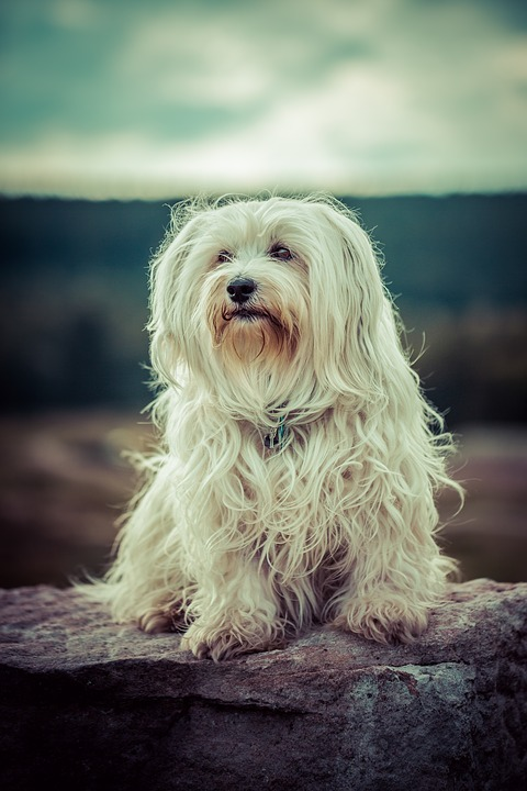 havanese temperament