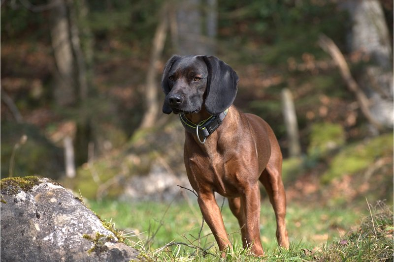 Bavarian Mountain Hound standing in forest