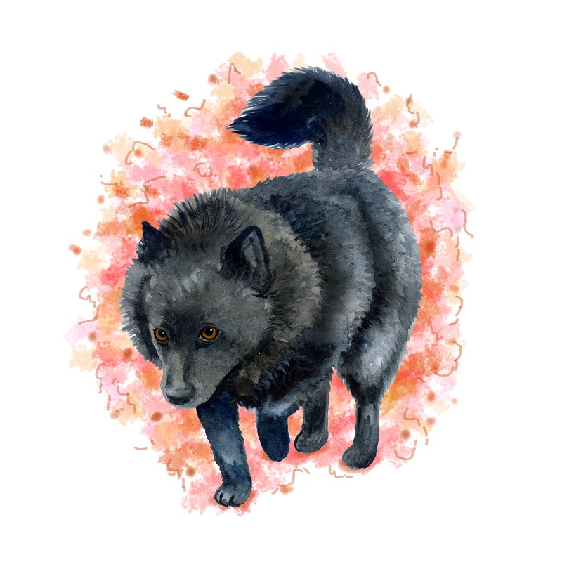 Watercolor closeup portrait of Belgian Schipperke