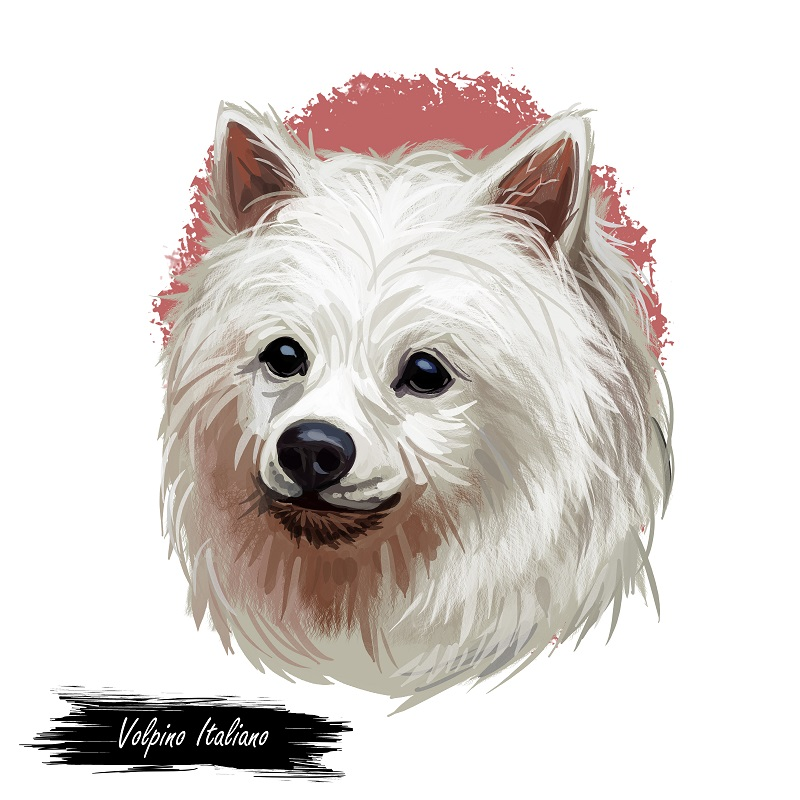Volpino Italiano dog spitz type breed portrait isolated on white. Digital art illustration, animal watercolor drawing of hand drawn doggy for web. Small pet with long haired coat that has white color.