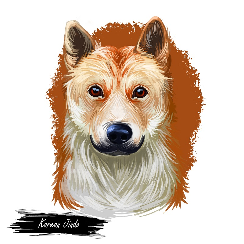 Korean Jindo, Jindo, Chindo, Jindo Gae, JindoGae dog digital art illustration isolated on white background. South Korea origin asian spitz dog. Pet hand drawn portrait