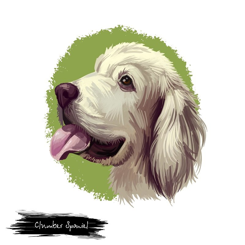 Clumber spaniel dog breed portrait. Pet originated in United Kingdom pedigree mammal with sticked out tongue. Canine domestic doggy isolated on white background digital art illustration