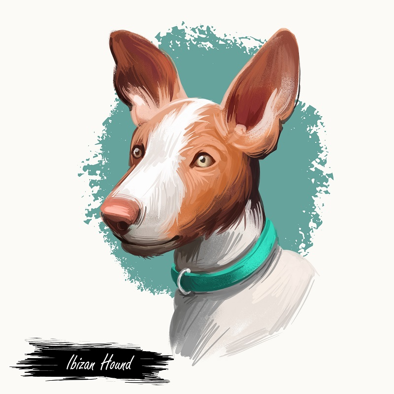 Ibizan Hound dog digital art