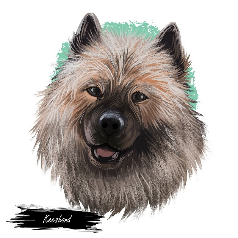 Keeshond, Dutch Barge Dog, German Spitz dog art