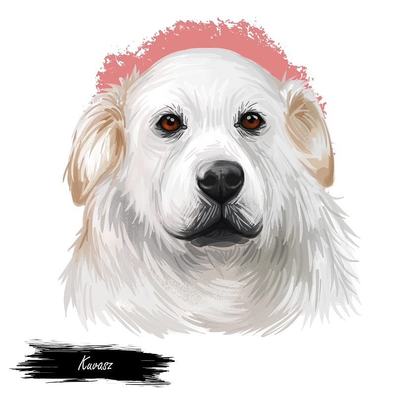 Kuvasz Hungarian ancient breed of livestock dog digital art illustration. Pet and guard dog, originated in Hungary as protector of farmers livestocks. Purebred animal puppy isolated portrait