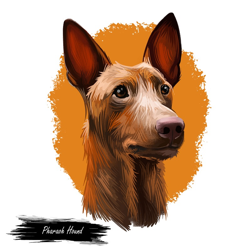 Pharaoh Hound dog portrait isolated on white. Digital art illustration of hand drawn for web, t-shirt print and puppy food cover design, clipart. Kelb tal-Fenek, Maltese breed of dog and dog of Malta