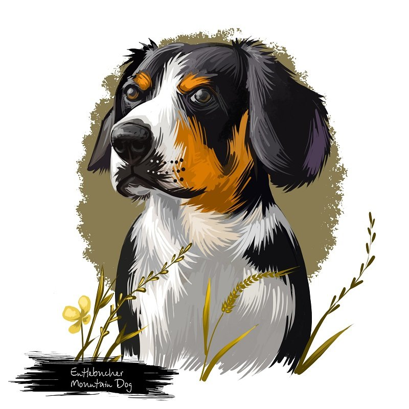 Entlebucher Mountain Dog, Entlebucher Sennenhund dog digital art illustration isolated on white background. Switzerland origin guardian dog. Cute pet hand drawn portrait.