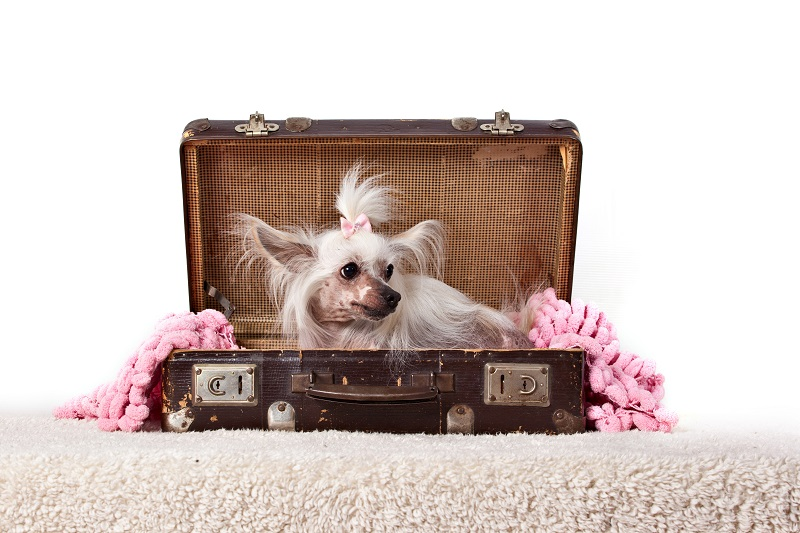 Chinese Crested Hairless dog in in old vintage suitcase isolated in white