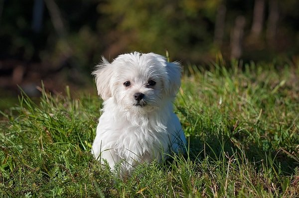 best small dog breed for first time dog owners Maltese