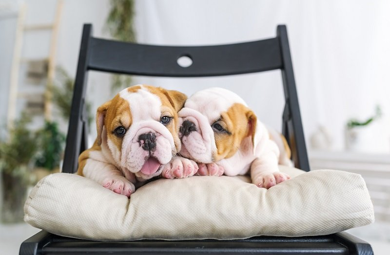 Two pretty puppies of a bulldog lying on a soft chair. Closeup portrait.