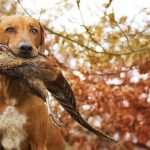 hunting dog in the wild holds a bird in mouth