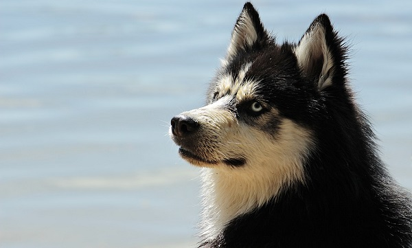 huskies are aggressive dog breeds in the world