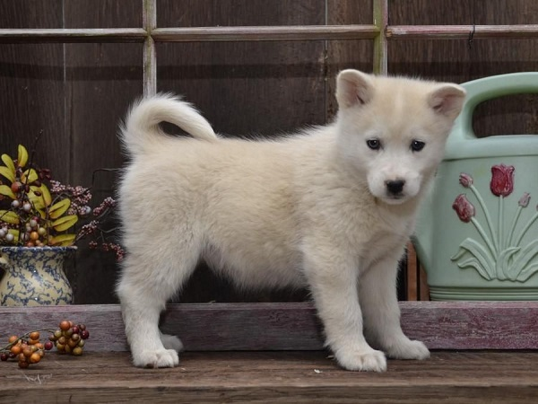 huskimo dog breed calm small dog breed