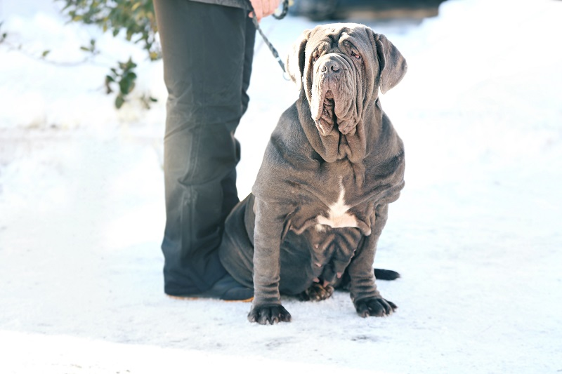 Neapolitan Mastiff with owner outdoors on winter day