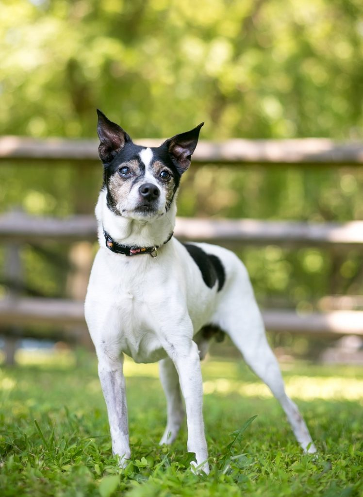 A Rat Terrier mixed breed dog outdoors