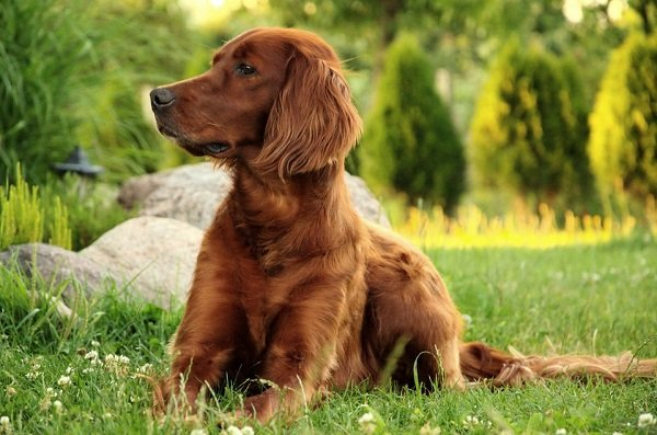 irish setter best dog breeds for families