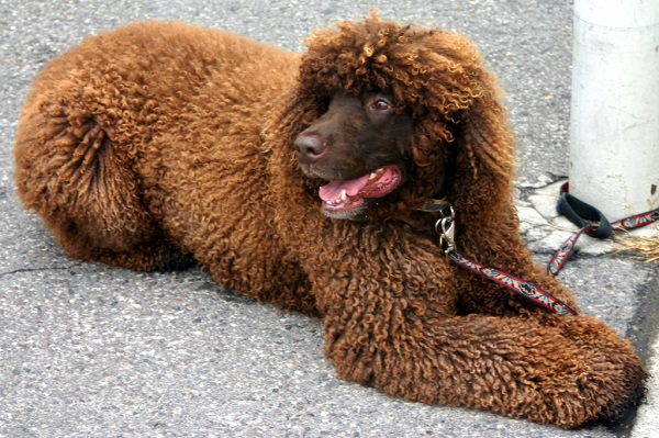 irish water spaniel dogs that dont shed much