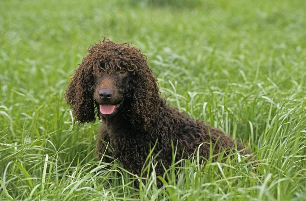 Brown Irish Water Spaniel sitting in long grass