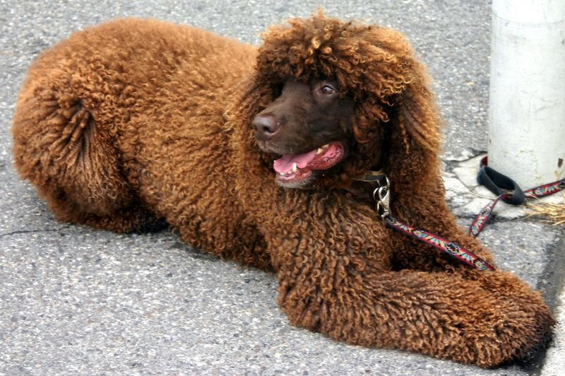 an Irish water spaniel sits and rests