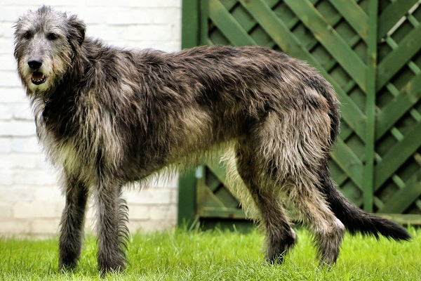 irish wolfhound most expensive dog breed pictures