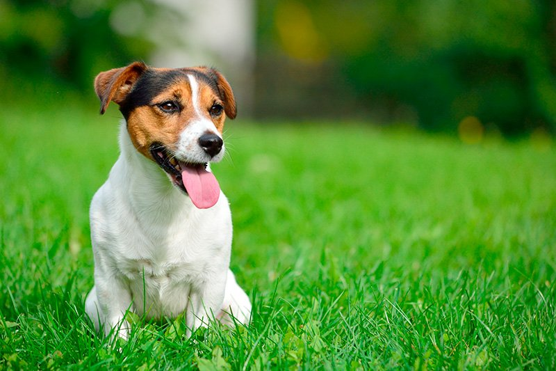 Jack Russell Terrier sitting on grass in garden