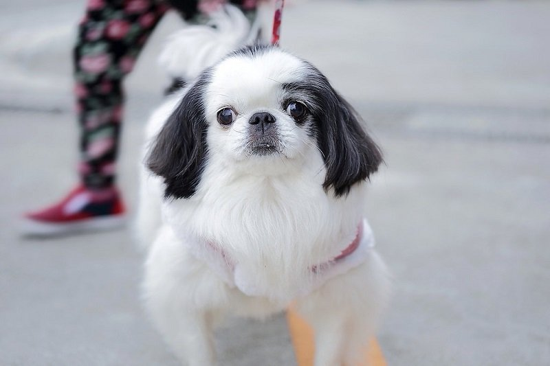 Japanese-chin-dogs