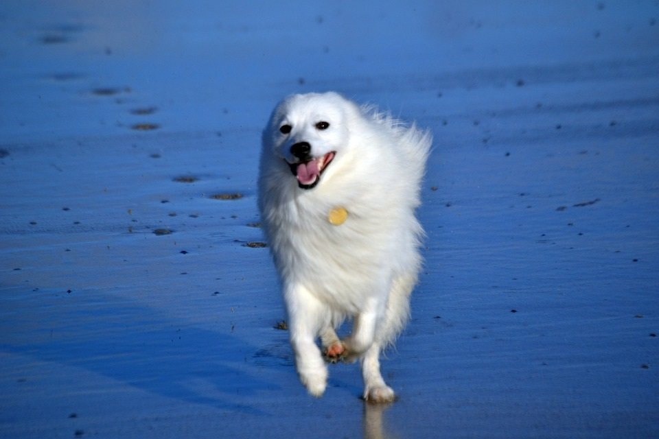 Japanese Spitz dog smiling while running on the beach