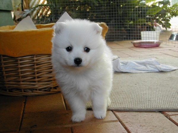 japanese spitz dog breed price