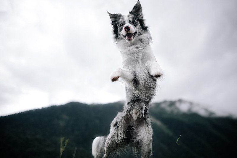 Black and white dog jumping in a field in nature with mountains in the background