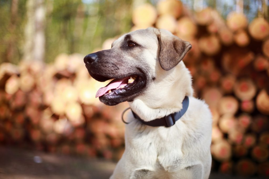 Kangal in focus with blurry nature background