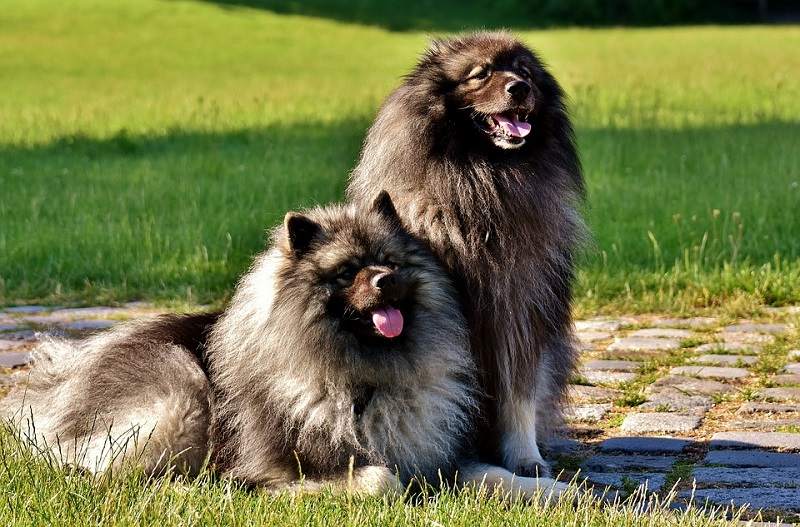 keeshond-hardworking farm dogs