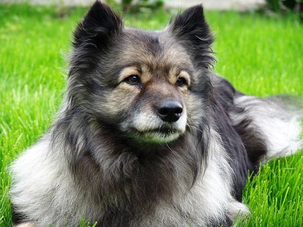 keeshond is lazy and inactive breed ideal for seniors