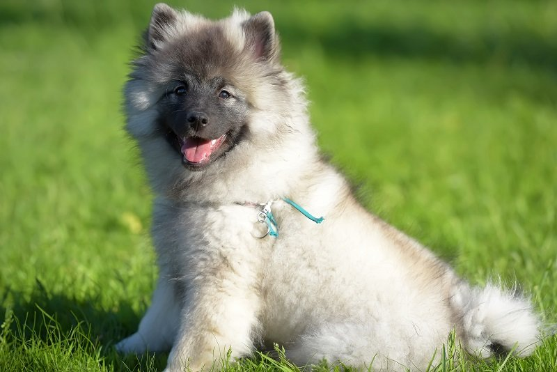 keeshond wolfspitz puppy happy in summer on green grass